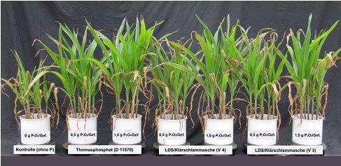 Vegetations-Gefäßversuch mit verschiedenen Phosphatdüngern