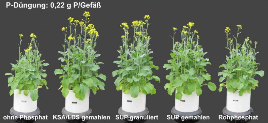 Vegetations-Gefäßversuch mit P-angereicherter LD-Schlacke, wasserlöslichem P-Dünger (SUP) und weicherdigem Rohphosphat